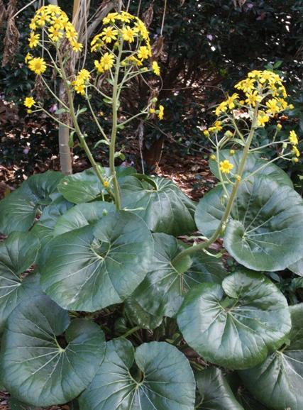 farfugium-japonicum-giganteum-in-flower.jpg