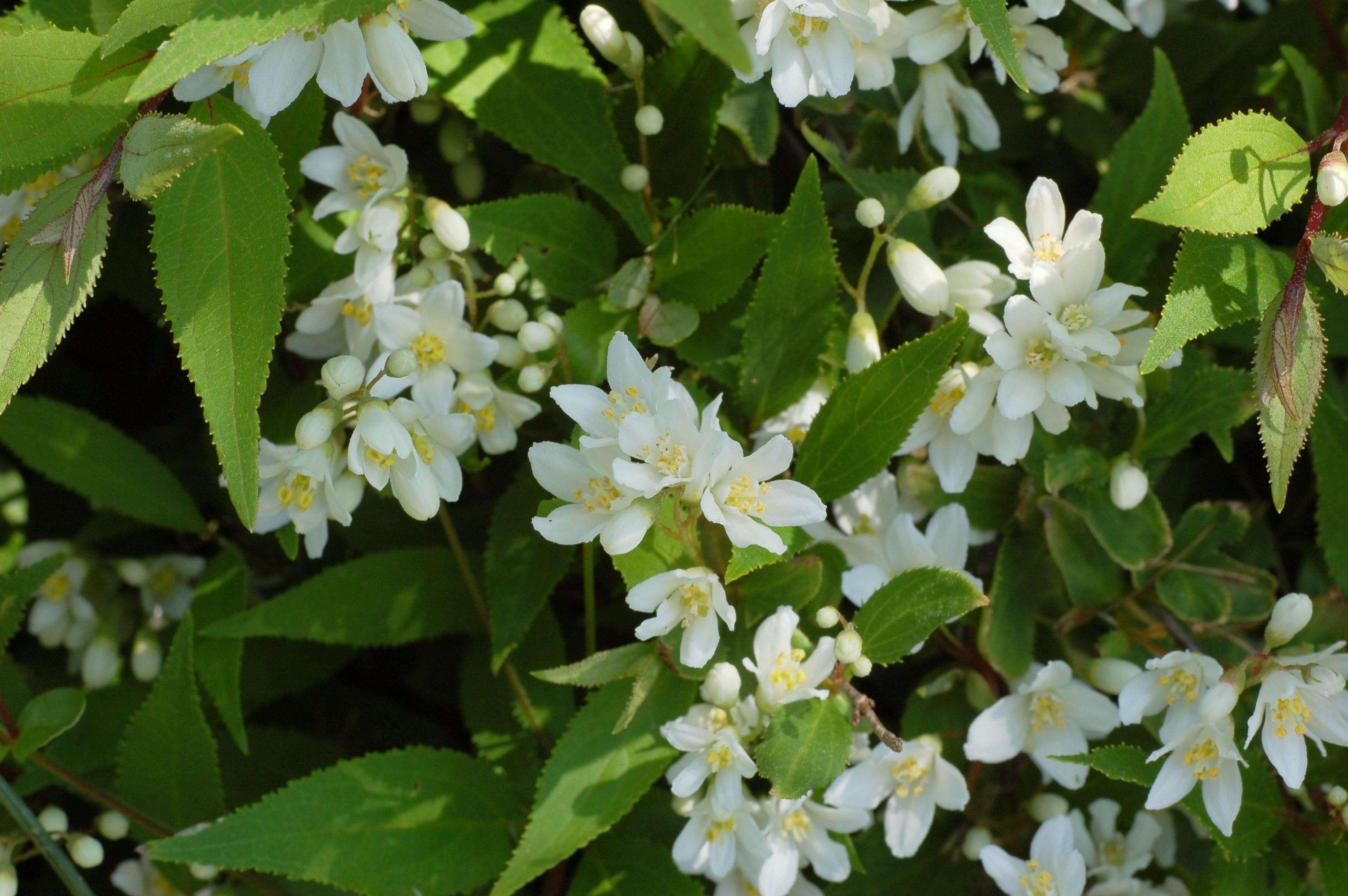 Slender_Deutzia_Deutzia_gracilis_%27Nikko%27_Flowers.jpg