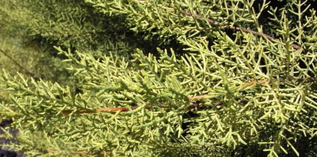 Cupressus-arizonica-glabra-Limelight-main.jpg