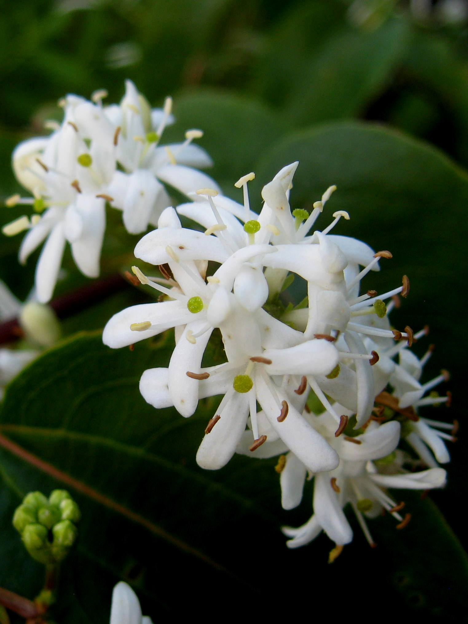 Heptacodium_miconiodes_flowers-1.jpg