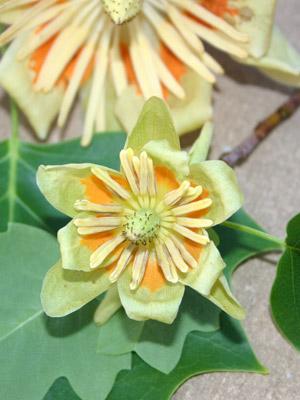 Liriodendron_Little_Volunteer_flower.jpg