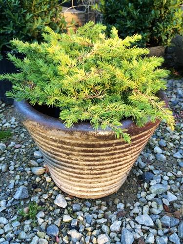 Juniperus_conferta_All_Gold.jpg
