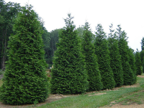 Thuja_x_Green_Giant.jpg